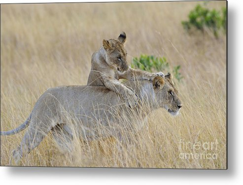 Africa Metal Print featuring the photograph Lion Cub Playing With Female Lion by John Shaw