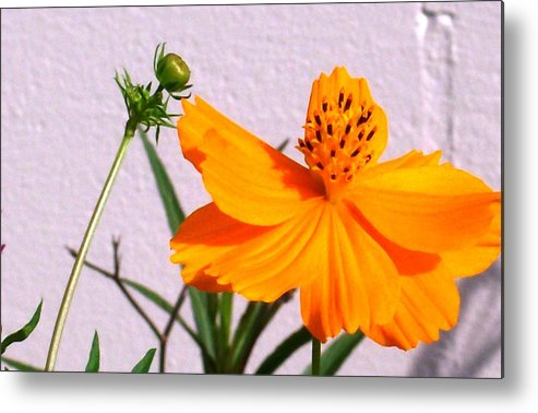 Bright Metal Print featuring the photograph Neon Bright Orange Cosmos by Belinda Lee