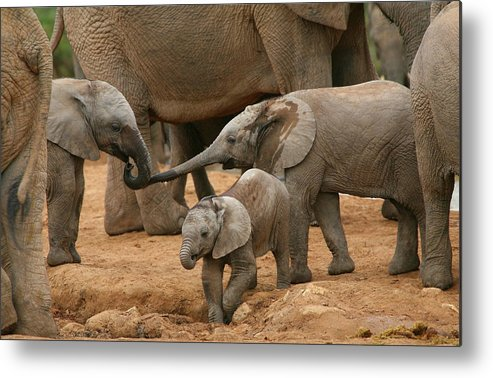 Elephant Metal Print featuring the photograph Pachyderm Pals by Bruce J Robinson