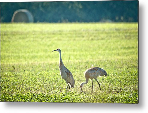 Sandhill Cranes Metal Print featuring the photograph Peaceful Morning by Cheryl Baxter