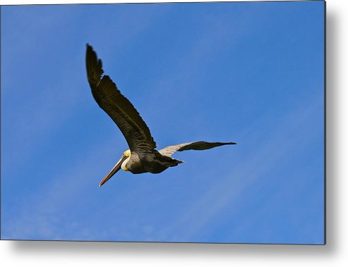 Pelican Metal Print featuring the photograph Pelican In Flight by Denise Mazzocco