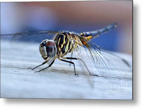 Tiger Dragonflies Metal Print featuring the photograph Stop By Tiger Dragon Fly by Peggy Franz