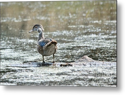 Wood Ducks Metal Print featuring the photograph Young Male Wood Duck by Cheryl Baxter