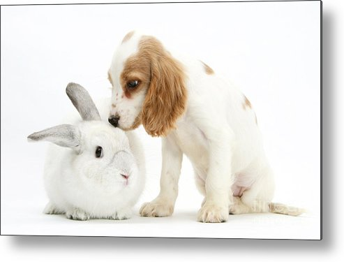 Nature Metal Print featuring the photograph Cocker Spaniel And Rabbit by Mark Taylor