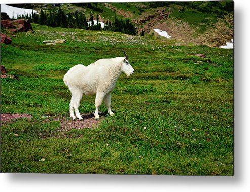 Glacier National Park Metal Print featuring the photograph Mountain Goat by Greg Norrell