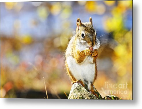Red Squirrel Metal Print featuring the photograph Red Squirrel by Elena Elisseeva