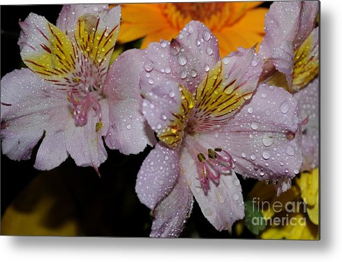 Inca Lily Metal Print featuring the photograph Inca Lily by Patrick Short