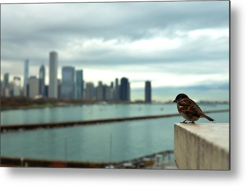 Bird Metal Print featuring the photograph Serenity Of Chicago by Rafay Zafer
