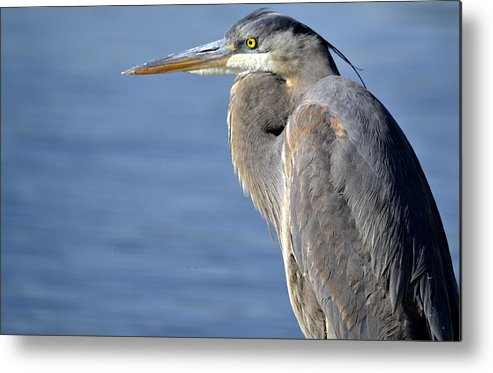 Great Blue Heron Metal Print featuring the photograph Soothed By The Blue by Fraida Gutovich
