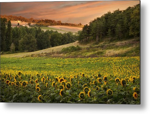 Horizontal Metal Print featuring the photograph Sunrise Over Field Of Sunflowers by Verity E. Milligan