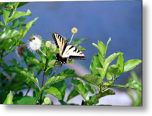 Butterfly Metal Print featuring the photograph 080706-7 by Mike Davis