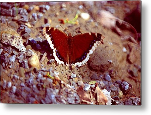Butterfly Metal Print featuring the photograph 113093-1 by Mike Davis