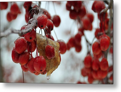 Winter Metal Print featuring the photograph Winter Berries by David Arment
