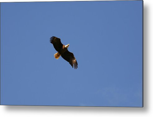 Bald Eagle Metal Print featuring the photograph Bald Eagle by James Jones