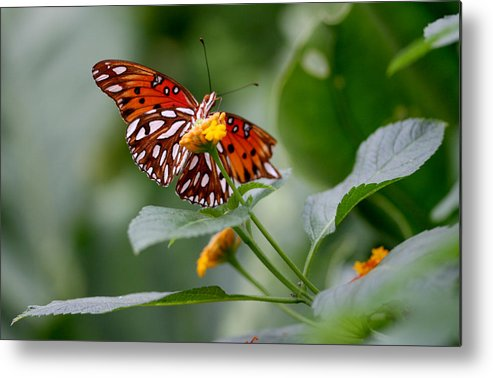Butterfly Metal Print featuring the photograph Butterfly by Jason Hochman