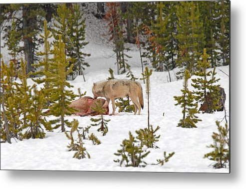 Wolf Metal Print featuring the photograph Canyon Wolf On Elk Kill by Dennis Hammer
