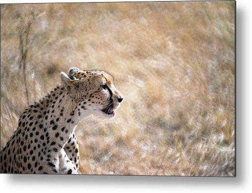 Cheetah Metal Print featuring the photograph Cheetah by Marcus Best