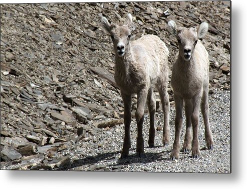 Baby Metal Print featuring the photograph Couple Of Cuties- Baby Bighorn by Tiffany Vest