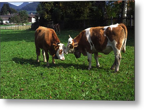 2 Cows Nuzzling Metal Print featuring the photograph Cows Nuzzling by Sally Weigand