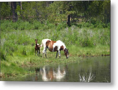Pinto Metal Print featuring the painting Curious Foal by Kim