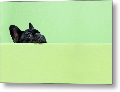Horizontal Metal Print featuring the photograph French Bulldog Puppy by Retales Botijero
