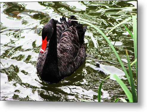 Black Swan Metal Print featuring the photograph Its Good To Be Different. by Donald C Leight Jr