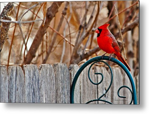 Cardinal Metal Print featuring the photograph Male Cardinal by Edward Peterson