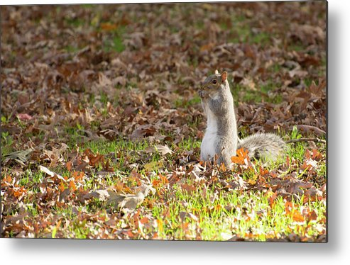 Squirrel Metal Print featuring the photograph Nuts For Fall by Joan D Squared Photography