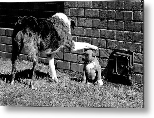 Australian Shepherd Metal Print featuring the photograph Sit . . . Stay . . . by BuffaloWorks Photography
