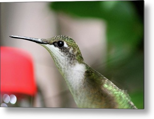 Hummingbird Metal Print featuring the photograph Stretching by Bonnie Brann
