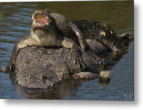 Gator Alligator Florida Scotthelfrich Nature Wildlife Sunshine Sun Sunning Metal Print featuring the photograph The Good Life by Scott Helfrich