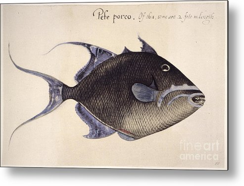 1585 Metal Print featuring the photograph Trigger-fish, 1585 by Granger