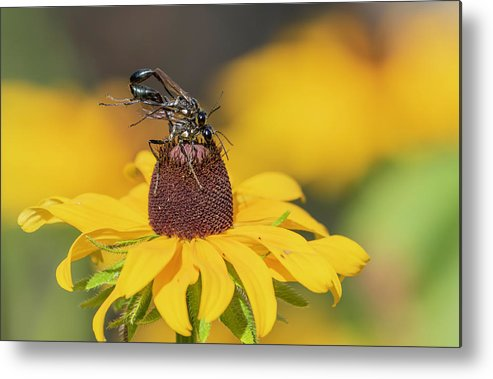 Thread Waisted Wasps Metal Print featuring the photograph Thread Waisted Wasp 2019-1 by Thomas Young