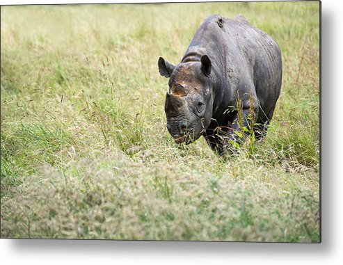 Animal Metal Print featuring the photograph Black Rhinoceros Diceros Bicornis Michaeli In Captivity by Matthew Gibson