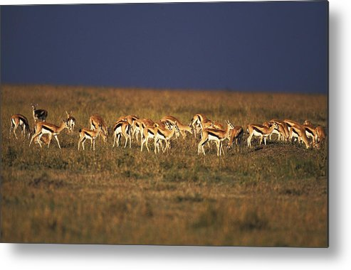 Adult Metal Print featuring the photograph Gazelle De Thomson Gazella Thomsoni by Gerard Lacz