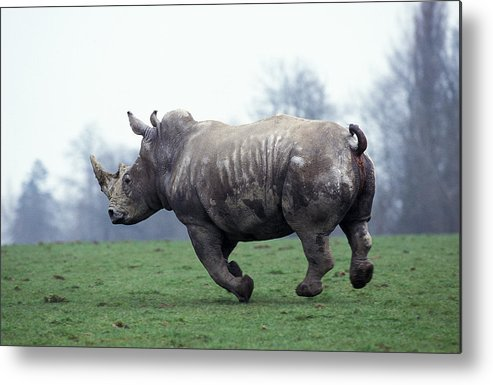 Adult Metal Print featuring the photograph Rhinoceros Blanc Ceratotherium Simum by Gerard Lacz