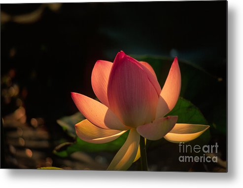 Flower Metal Print featuring the photograph Flower by Gyorgy Nagy
