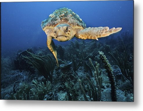 Turtles Metal Print featuring the photograph A Left Hand Turn by Sandra Edwards