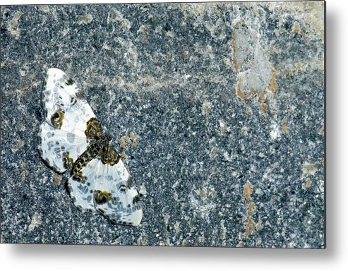 1 Metal Print featuring the photograph Clouded Magpie Moth by K Jayaram