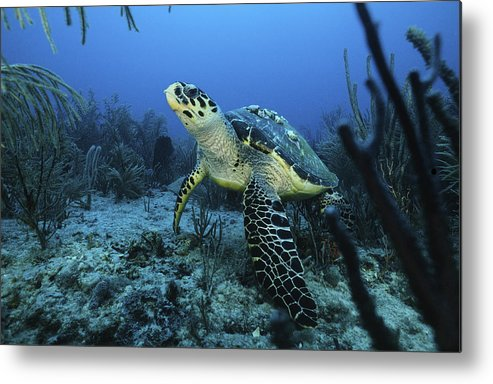 Angle Metal Print featuring the photograph I Am A Proud Hawksbill Turtle by Sandra Edwards