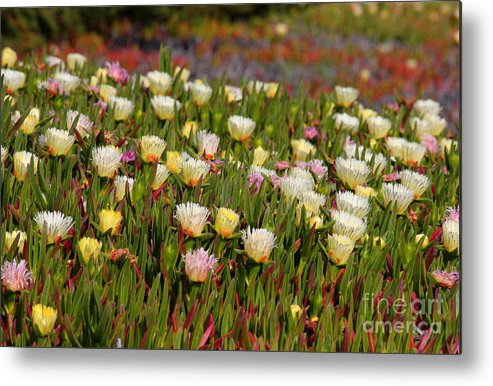 Ice Plant Metal Print featuring the photograph Ice Plant by Carol Groenen
