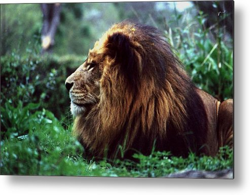 Animal Metal Print featuring the photograph King Of Beasts by Glenn Aker