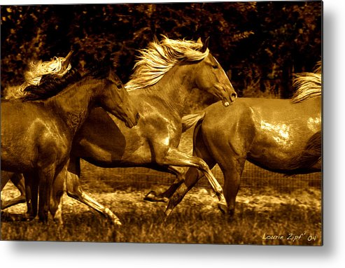 A Herd Of Paso Finos Run In A Pasture On A Ranch Near Santa Fe Metal Print featuring the photograph Morning Run by Lourie Zipf