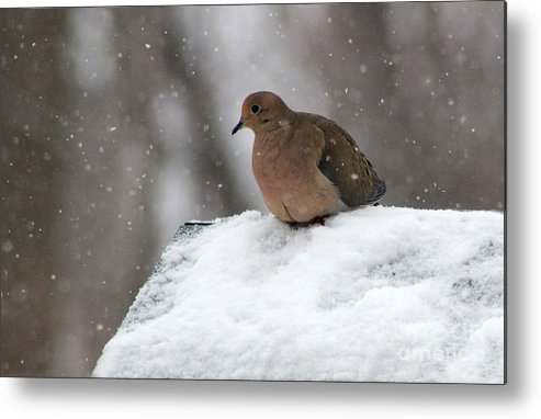 Mourning Dove Metal Print featuring the photograph Mourning Dove In Snow by Karen Adams