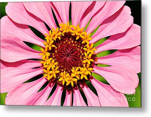 Photography Metal Print featuring the photograph Pink Zinnia Macro by Kaye Menner