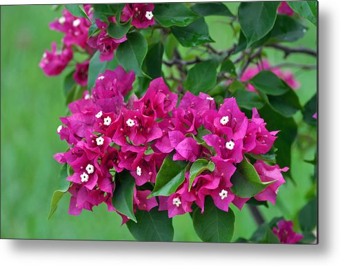 Flowers Metal Print featuring the photograph Purple Bougainvillea by Judith Russell-Tooth