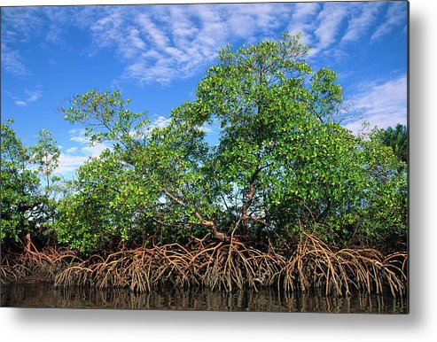 Acanthaceae Metal Print featuring the photograph Red Mangrove East Coast Brazil by Pete Oxford