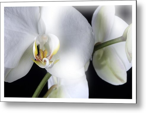 White Orchids On A Black Background Metal Print featuring the photograph Soft Orchid by Mauro Celotti