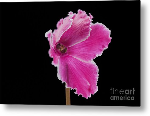 Flower Metal Print featuring the photograph Violet by Barbara BM