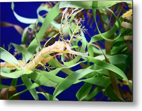 Weedy Sea Dragon Metal Print featuring the photograph Weedy Sea Dragon by Ellen Henneke